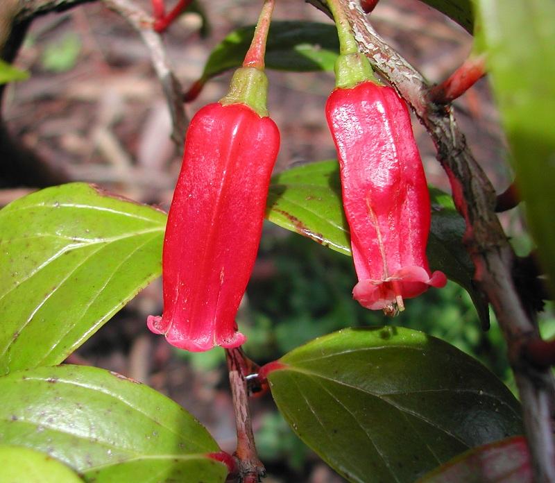 Agapetes meiniana (Paphia meiniana)
