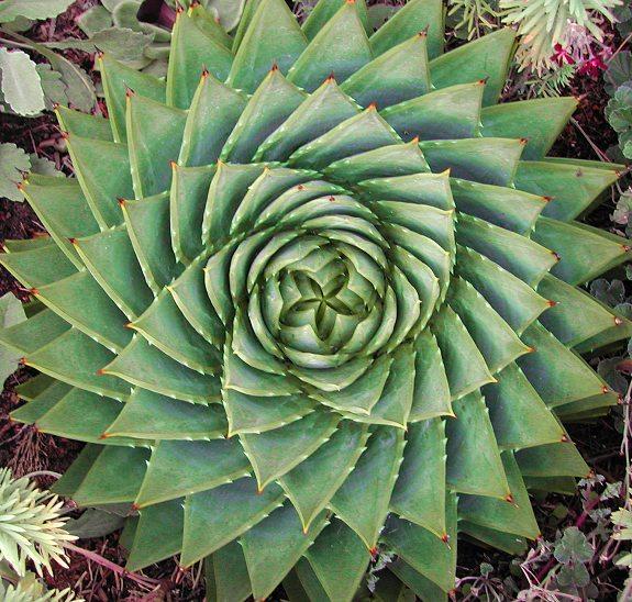 Espiral Aloe
