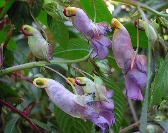 罕见的泰国鹦鹉花? 凤仙花?