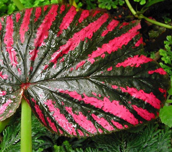 Begonia brevirimosa subsp. exotica