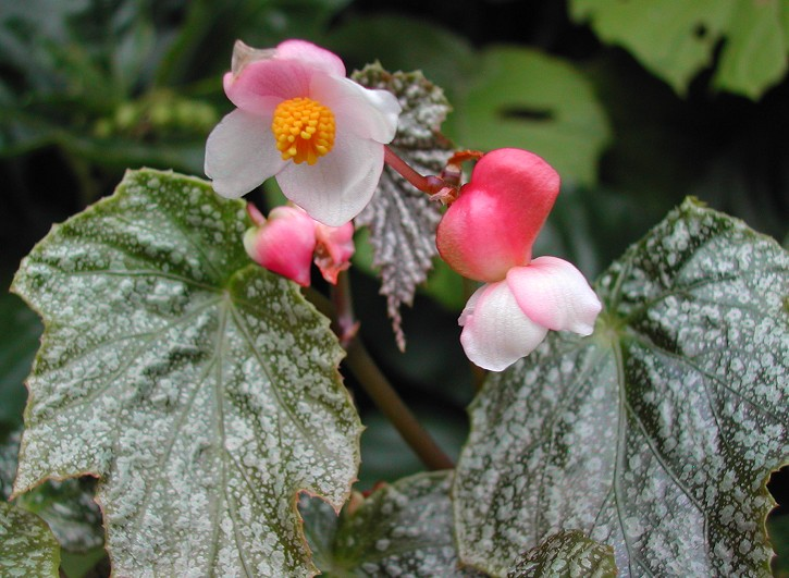 Begonia formosana var. albomaculata