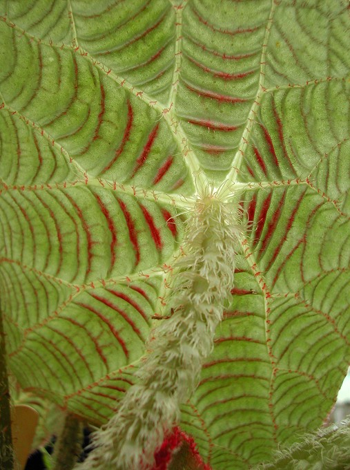 """Begonia paulensis - """"Spider web Begonia"""""""