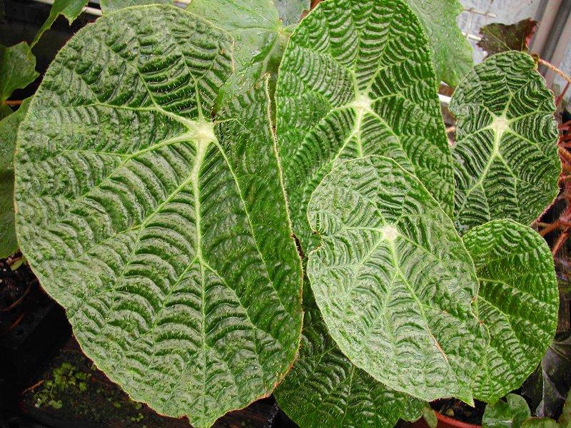Begonia Paulensis Spider Web Begonia