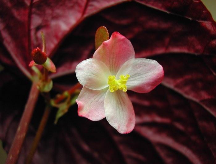 """Begonia pavonina - """"Peacock Begonia"""""""