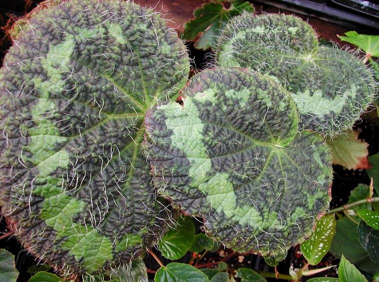 Begonia sizemoreae from Vietnam