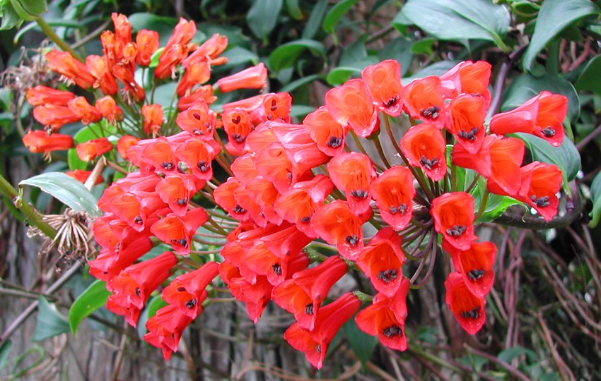 Bomarea sp. - Small red flowers