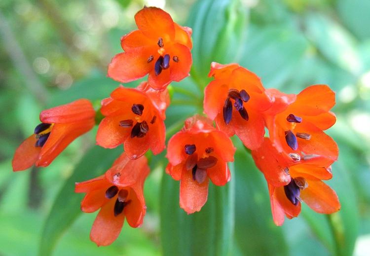 Bomarea distichifolia / distichiphylla