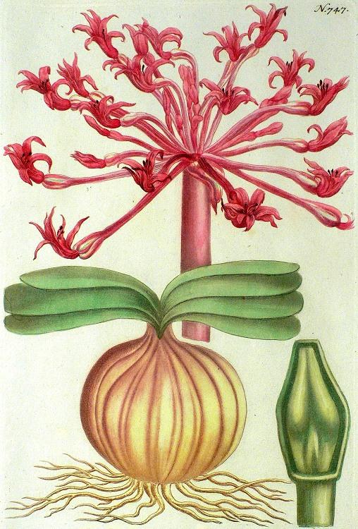 Brunsvigia orientalis - Candelabra Flower