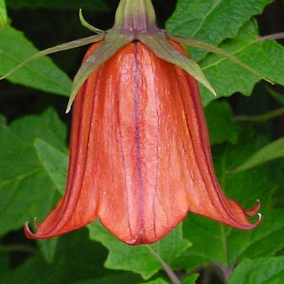 Canarina canariensis - Canary Island Bellflower