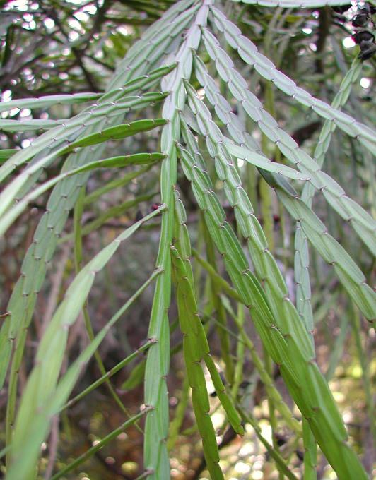 Carmichaelia - Ribbon Tree