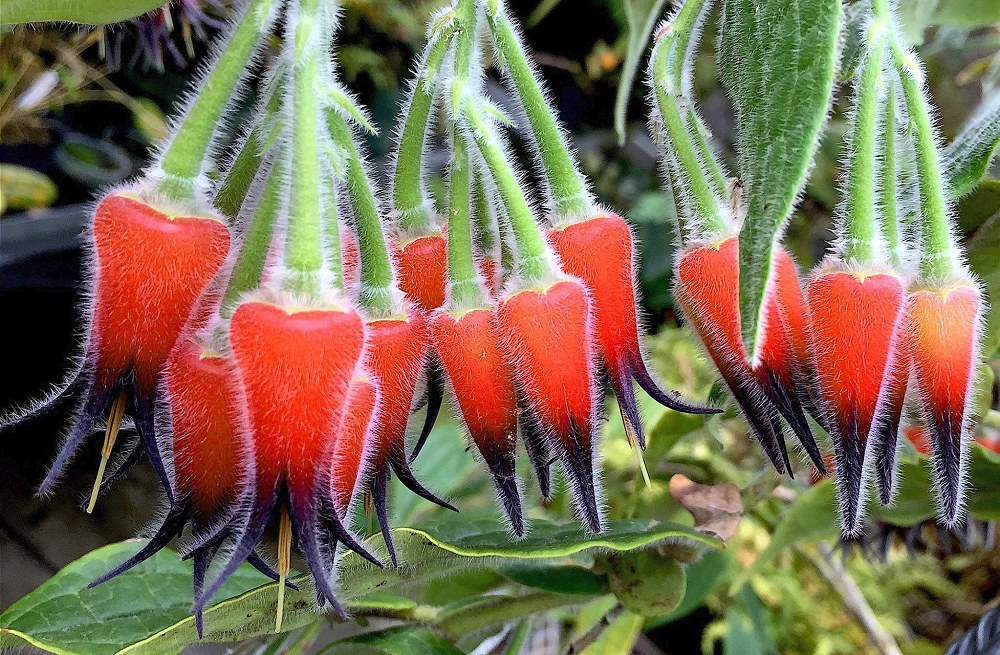 Ceratostema lanigerum