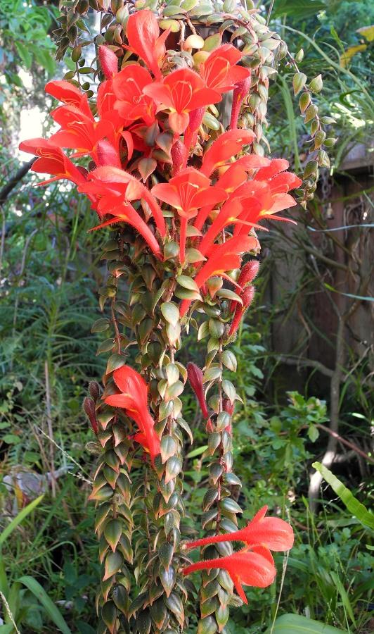 Columnea arguta (Lipstick Plant)