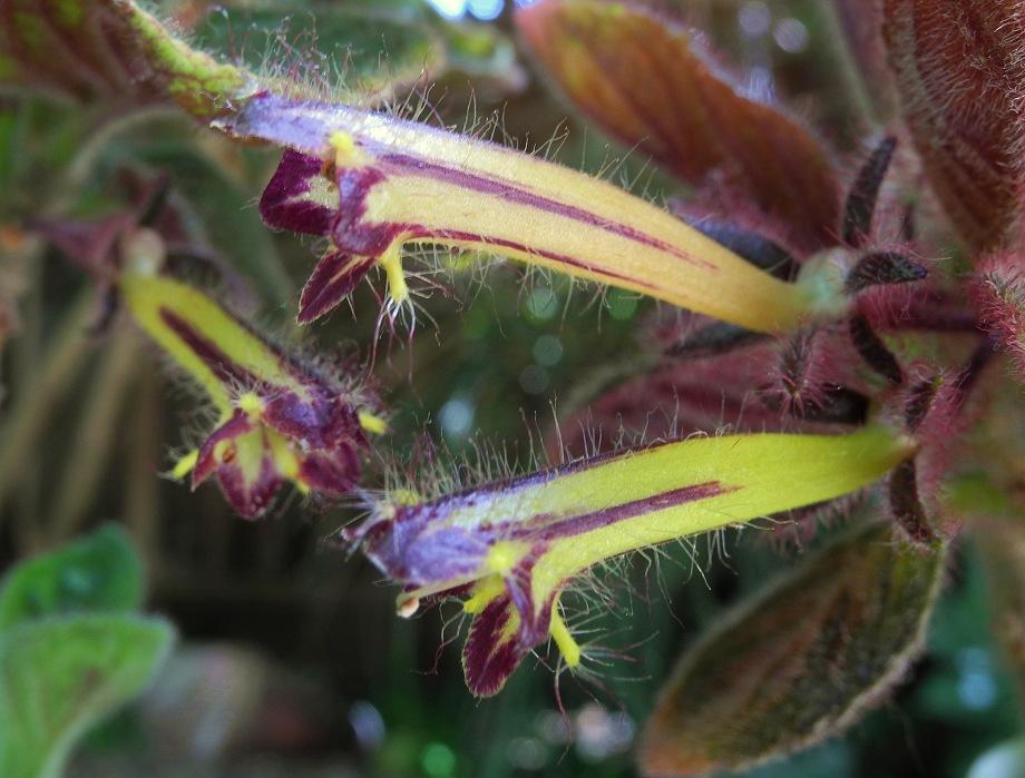 Columnea brenneri (Trichantha)
