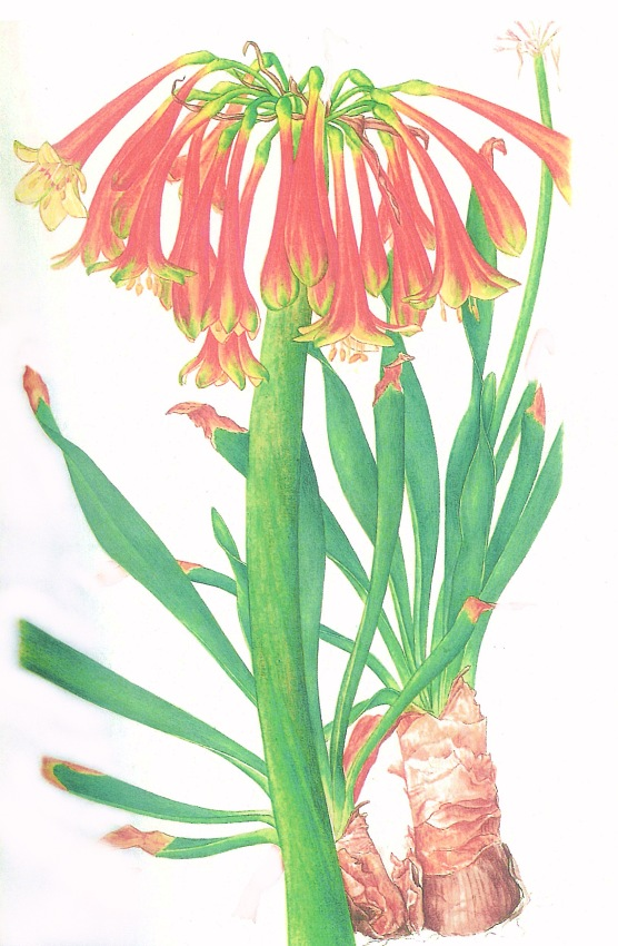 Cyrtanthus herrei - Fire Lily