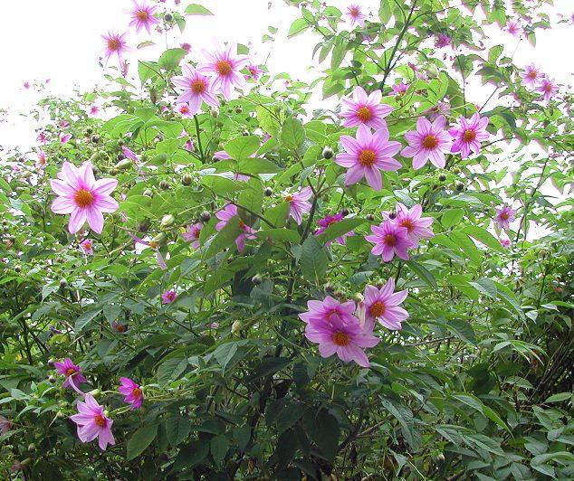 Dahlia tenuicaulis - Everblooming Tree Dahlia