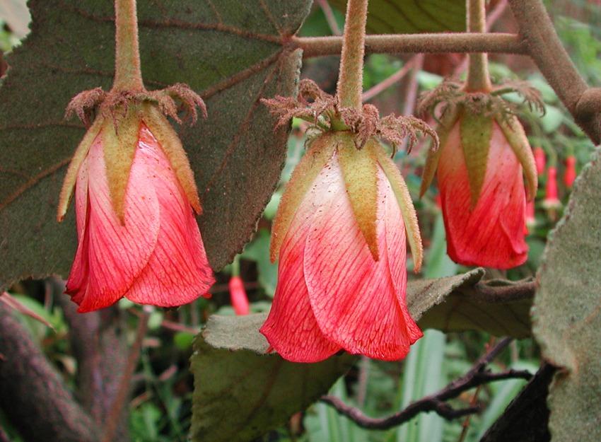 Andringitra macrantha (Dombeya macrantha)