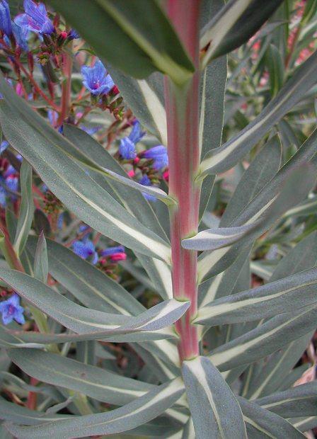 True Blue Echium gentianoides