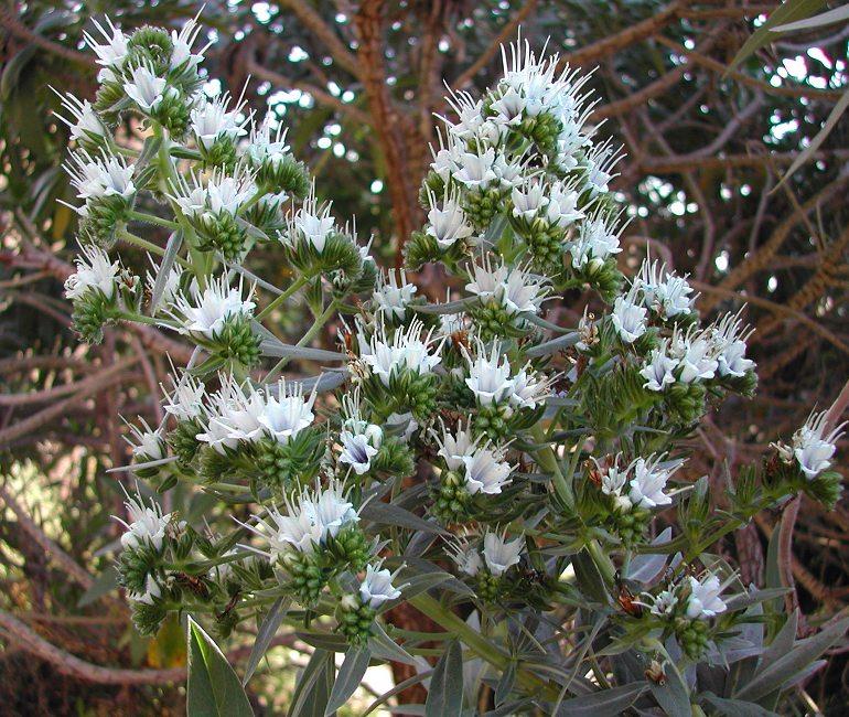 Echium vulcanorum