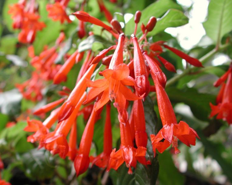 Fuchsia andrei