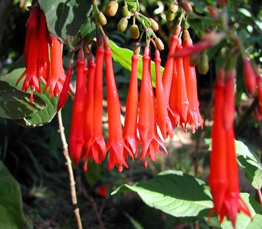 Fuchsia dependens