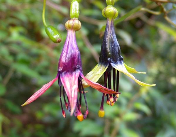 Fuchsia x colensoi