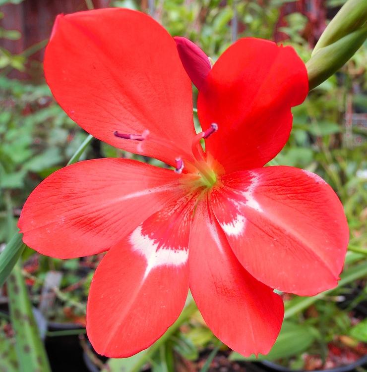 Gladiolus cruentus
