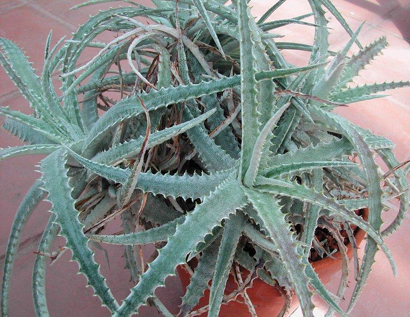Hechtia marnier-lapostollei