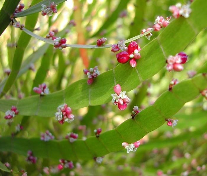 Homalocladium platycladum - Ribbon Plant