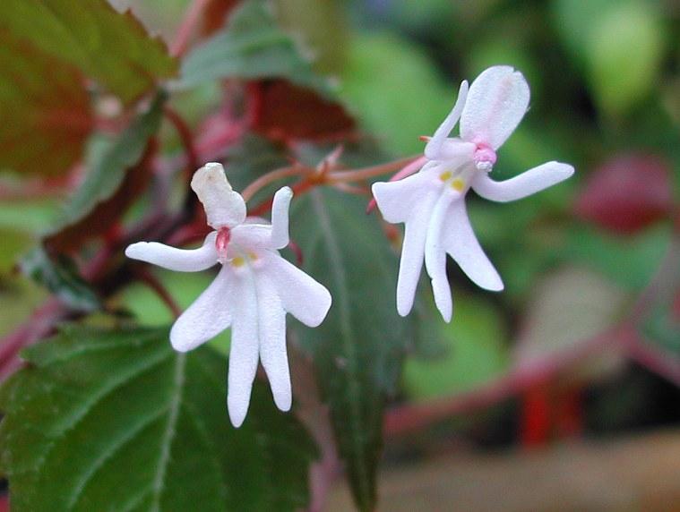 الازهار الراقصة