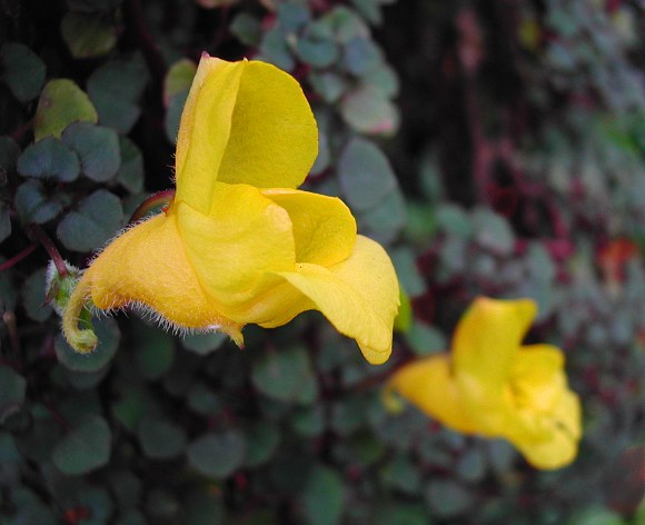 Golden Dragon Impatiens