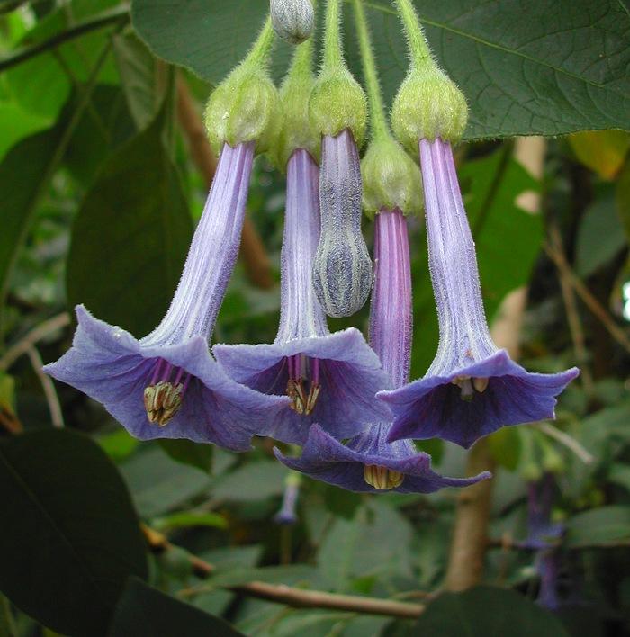 Iochroma grandiflora
