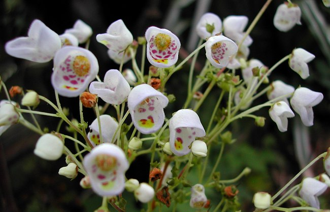 Teacup Flower - Teacup Flower