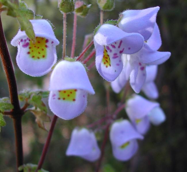 Jovellana violacea - violetTeacup Flower