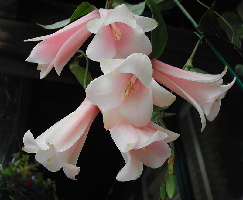Lapageria rosea - Pink Blush - Chilean Bellflower