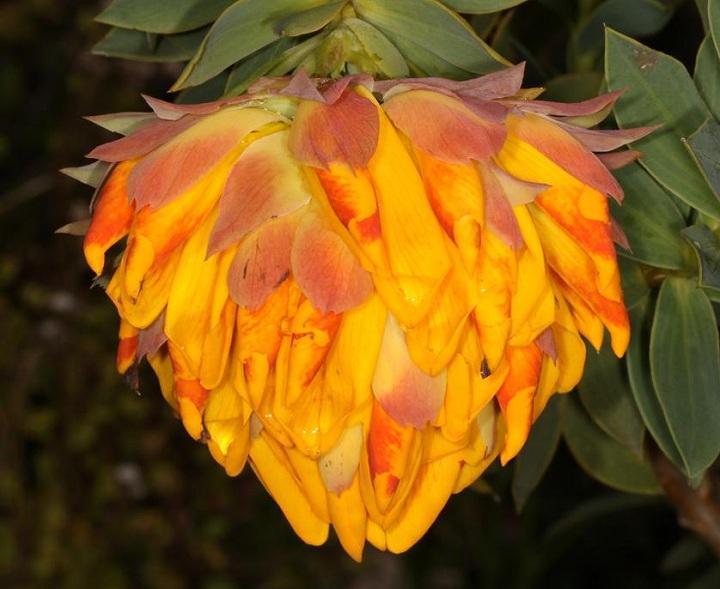 Liparia splendens - Mountain Dahlia