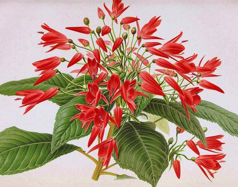 Lopezia grandiflora