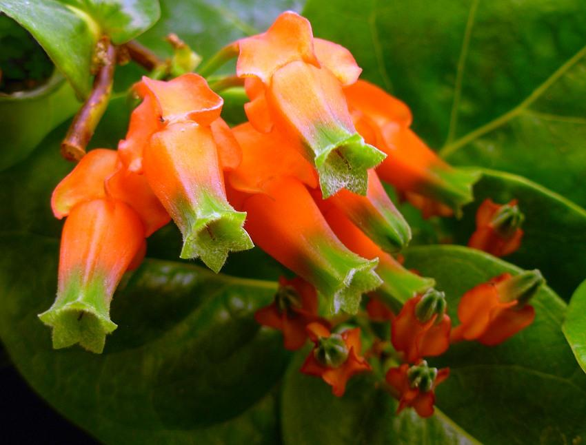 Macleania pentaptera