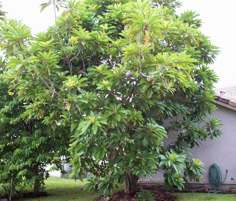 Mamey Sapote fruit - Pouteria sapota