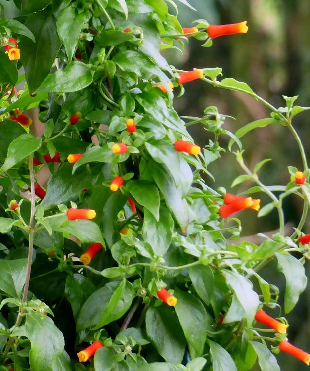 Firecracker Vine - Manettia luteo-rubra