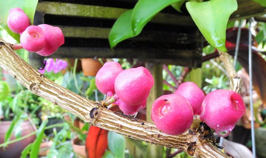 Medinilla balls-headleyi