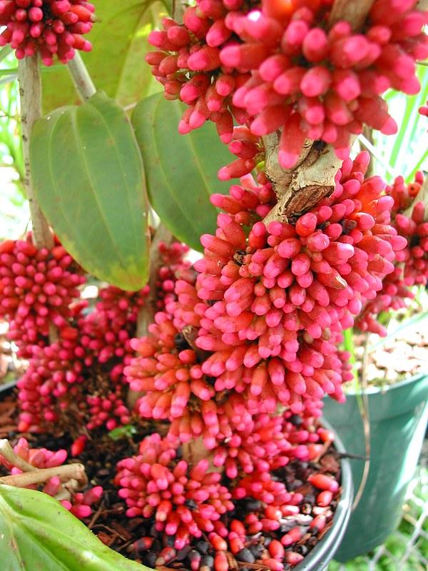 Medinilla sp. Madagascar