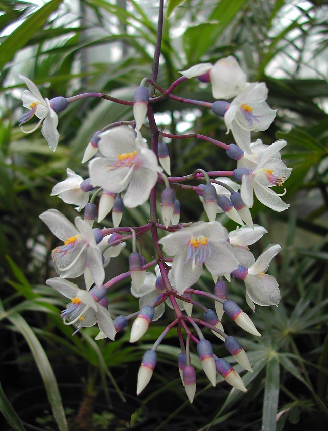 Medinilla crassata - Chandelier Plant