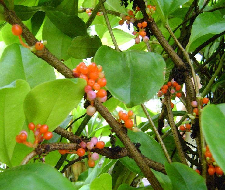 Medinilla succulenta