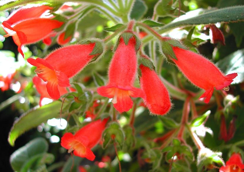 Moussonia papillosa (Kohleria papillosa)