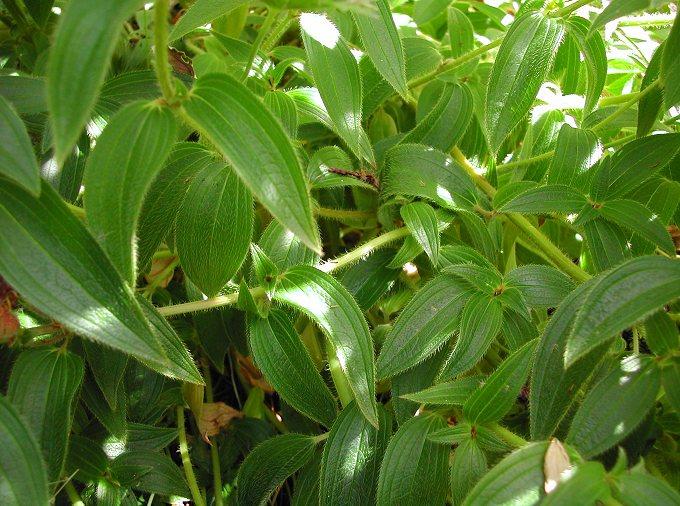 Osbeckia crinita