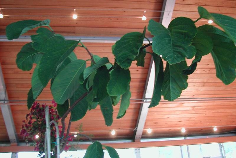 Passiflora lindeniana