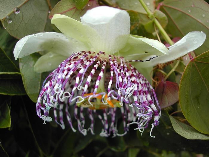 Passiflora sidifolia (sidaefolia)