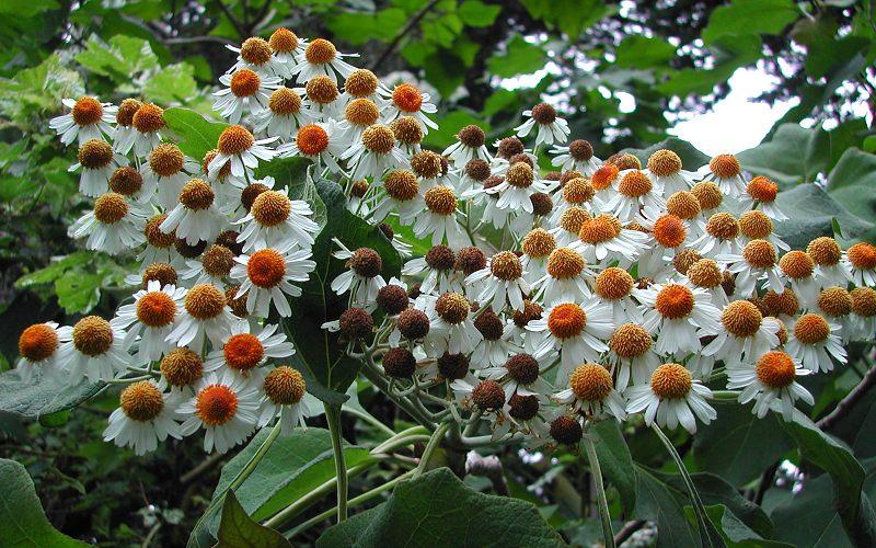 Podachaenium eminens - Giant Tree Daisy