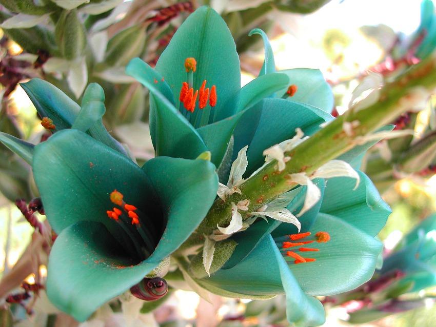 Turquoise Puya berteroniana