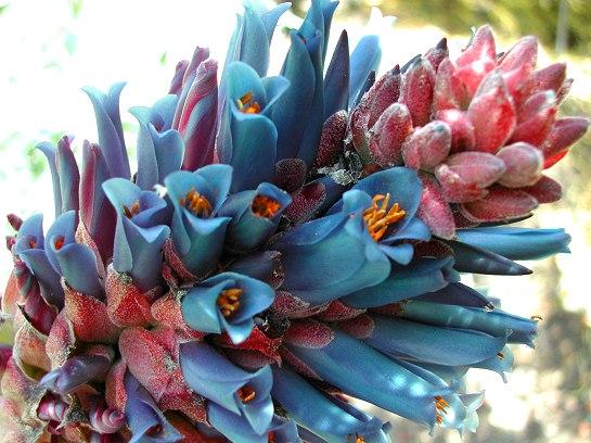 Puya coerulea